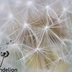 square_Dandelion-with-watermark