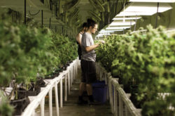 Cannabis Business Types You Can Start