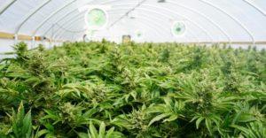 Short History of Cannabis and Legal Marijuana Dispensary pot-300x156